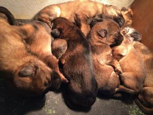 Sable Puppies - 8 Available