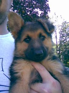 Heidi | German Shepherd Puppy for Sale