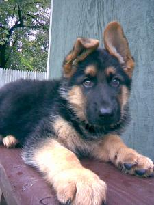 Baron | German Shepherd Puppy for Sale
