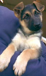 Alex | German Shepherd Puppy for Sale