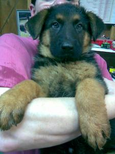 Charlie | German Shepherd Puppy for Sale
