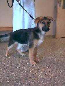 Patrice | German Shepherd Puppy for Sale