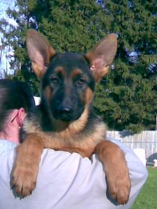 Tucker | German Shepherd Puppy for Sale