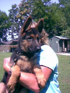 Bruno | German Shepherd Puppy for Sale