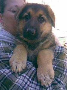 Franny & Jo | German Shepherd Puppy for Sale
