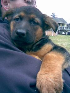 Cole | German Shepherd Puppy for Sale