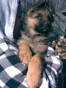 Dillon | German Shepherd Puppy for Sale