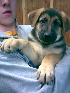 Kasey | German Shepherd Puppy for Sale