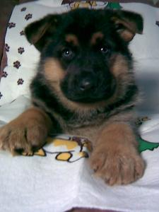 Sierra | German Shepherd Puppy for Sale