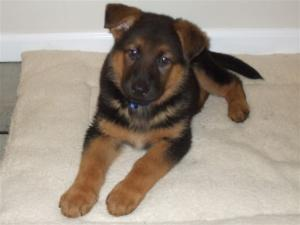 Titus | German Shepherd Puppy for Sale