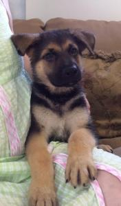 Black & Tan Female German Shepherd Puppy for Sale