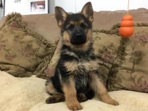 German Shepherd Female Black & Red