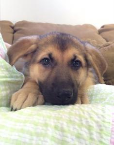Black & Tan Female German Shepherd for Sale