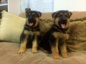 Black & Red Female German Shepherd Puppies for Sale