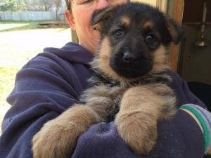Black & Red Female German Shepherd Puppy for Sale