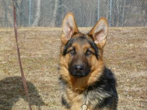 Niko | German Shepherd Puppy for Sale