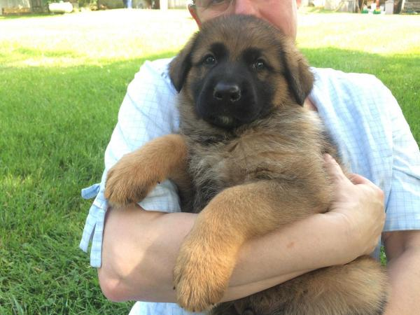 German Shepherd Male Puppy