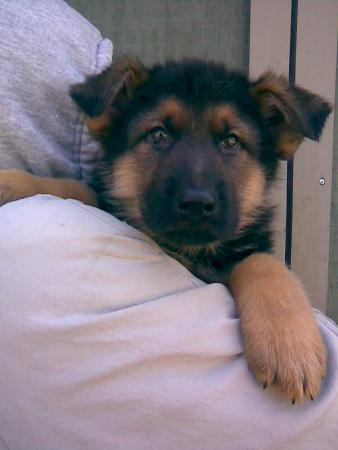 German Shepherd Puppy Sale