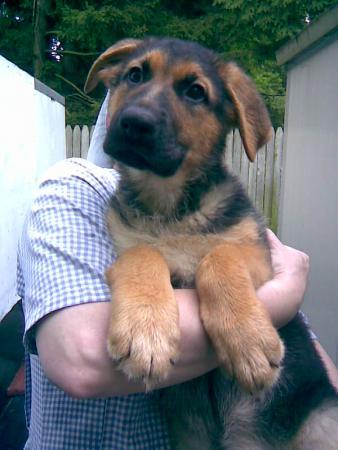 German Shepherd Puppy Sale Sale