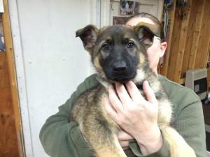 German Shepherd Female Puppy