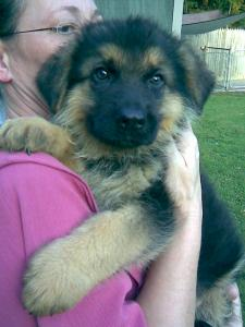German Shepherd Puppy Sold