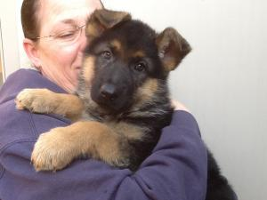 German Shepherd Puppy Sale in DE